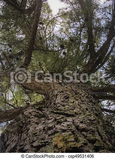 Tall pine tree with cones - csp49531406