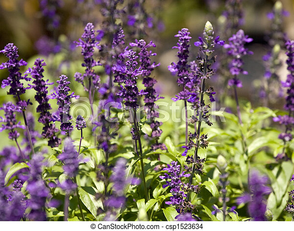Tall purple flowers tall purple flowers along the bank of a pond tall purple flowers csp1523634 mightylinksfo