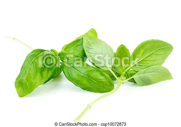 Dos tallos de albahaca dulce verde - csp10072873