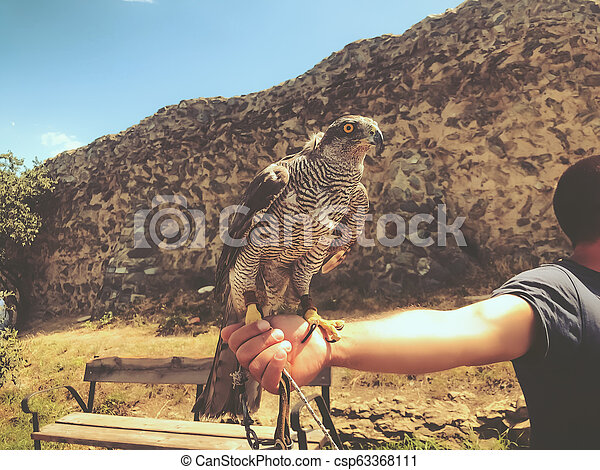 Tamed hawk sitting on the master's hand. Summer day in old Tbilisi - csp63368111