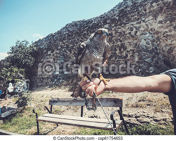 Tamed hawk sitting on the master's hand. Summer day in old Tbilisi - csp61754653