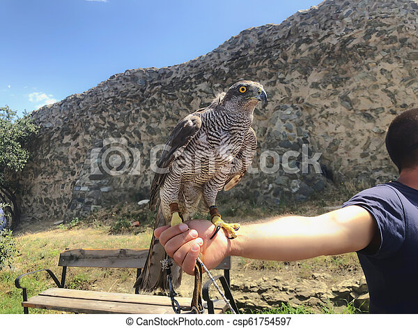 Tamed hawk sitting on the master's hand. Summer day in old Tbilisi - csp61754597