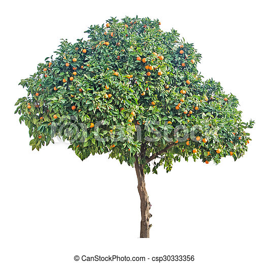 tangerine tree on white background - csp30333356
