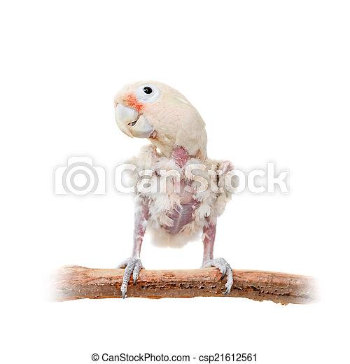 Tanimbar corella or Goffin's cockatoo on white - csp21612561