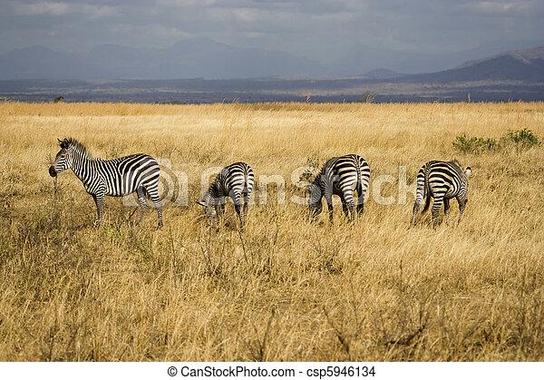 tanzanien, parc national, zèbres - csp5946134