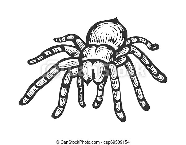 Tarantula Lycosa Wolf Spider Sketch Line Art Engraving Vector Illustration Scratch Board Style Imitation Black And White Hand Drawn Image