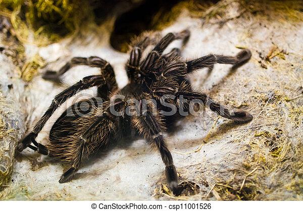 Tarantula spider - csp11001526