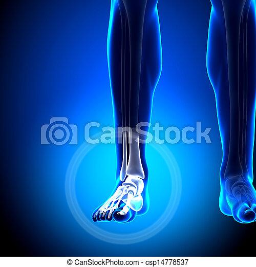 Tarsals Phalanges Ankle Bones Anatomy Bones