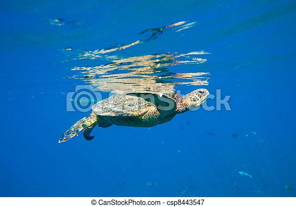 tartaruga, natação, verde, mar, oceânicos - csp8443547