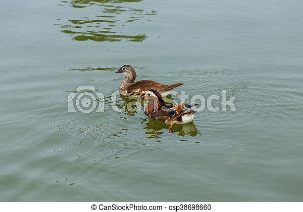 tavacska, vízi madár - csp38698660