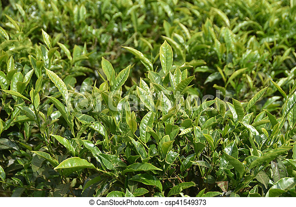Tea gardens in india. Tea gardens in south india picture - Search ...