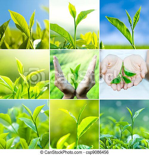 Tea leaves - csp9086456