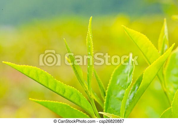 Tea on the plantation - csp26820887