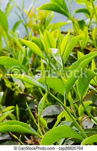 Tea on the plantation - csp26820764