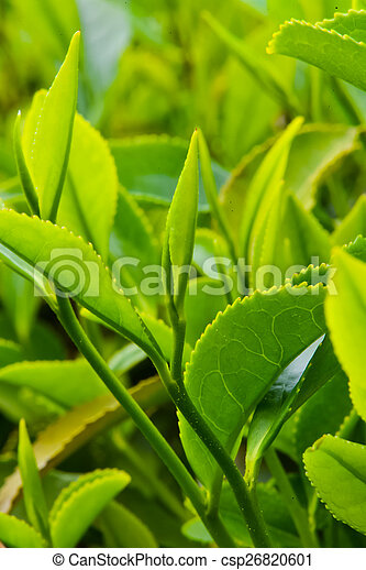 Tea on the plantation - csp26820601