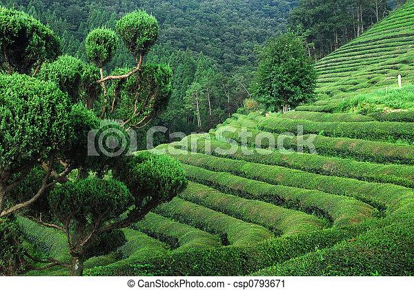 Tea Rows - csp0793671