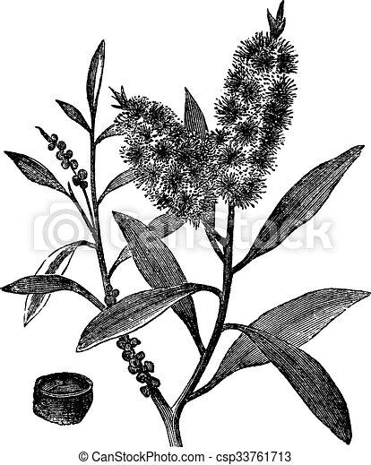 Tea Tree Oil Has White Wood Melaleuca Leucadendron Vintage Engraving