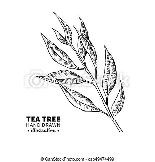 Tea tree vector drawing isolated vintage illustration of medical tea tree vector drawing isolated vintage illustration of medical plant leaves on branch altavistaventures Gallery
