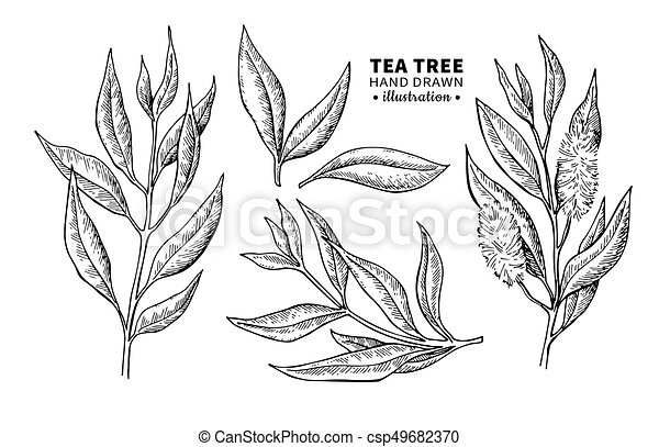 Tea Tree Vector Drawing Isolated Vintage Illustration Of Medical Plant Leaves On Branch