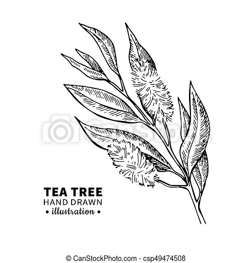 Tea tree vector drawing isolated vintage illustration of medical tea tree vector drawing isolated vintage illustration of medical plant leaves on branch thecheapjerseys Gallery