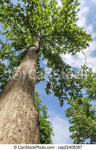 Teakholzbaum  Teakholz, baum. Teakholz, wälder, nördlich , thailand Bilder ...
