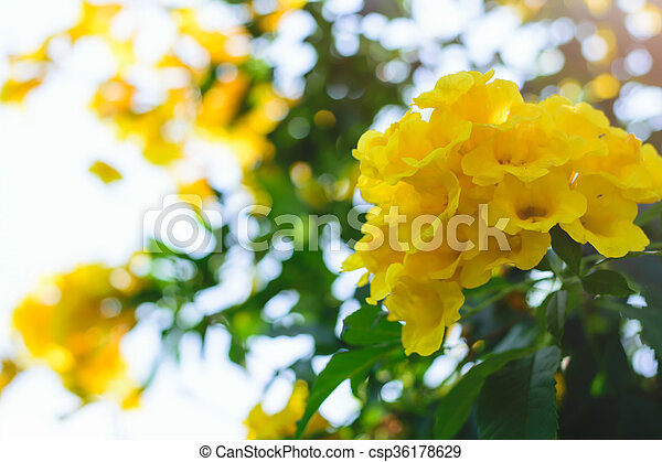 Tecoma stans or yellow trumpet bush flower on tree tecoma stans or yellow trumpet bush flower csp36178629 mightylinksfo