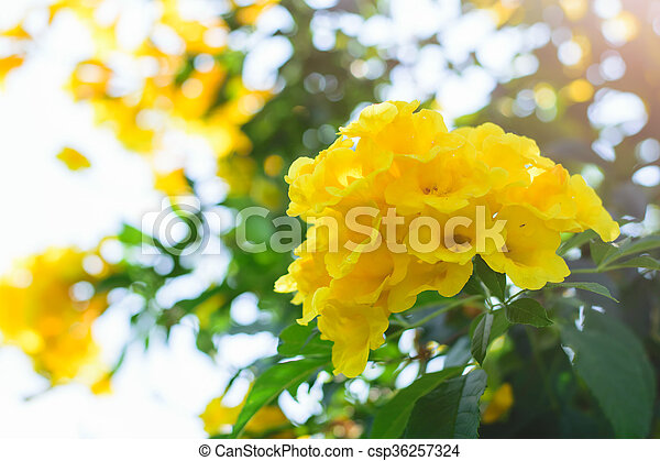 Tecoma stans or yellow trumpet bush flower on tree tecoma stans or yellow trumpet bush flower csp36257324 mightylinksfo