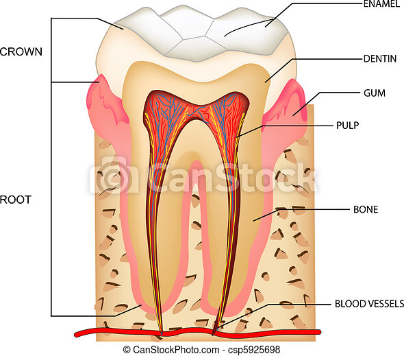 Teeth Anatomy Illustration Of Anatomy Of Teeth With Labeling