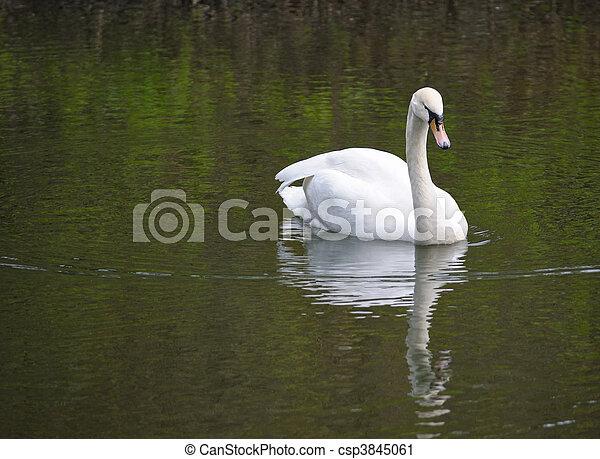 Schwan im Teich - csp3845061