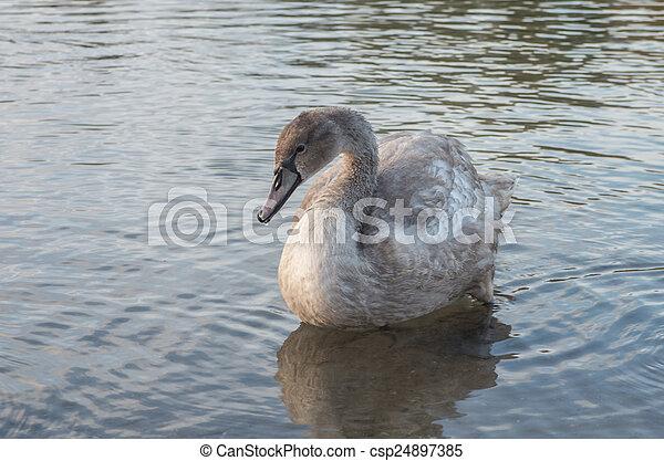 Schwan im Teich - csp24897385