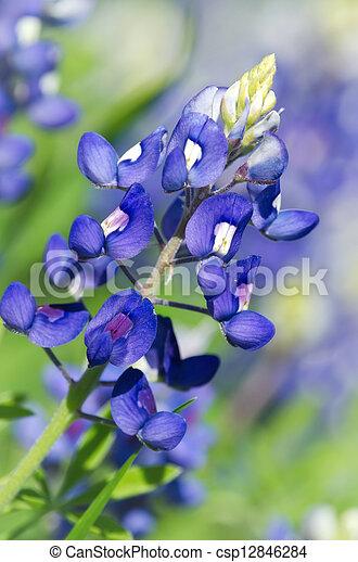 Bluebonnets de Texas - csp12846284