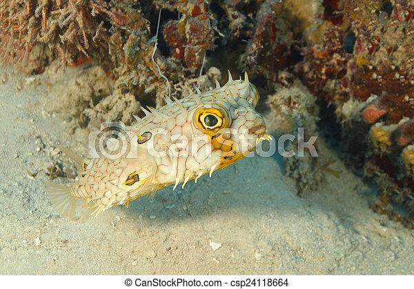 Burbuja web nadando junto a un pedazo de arrecife de coral - csp24118664