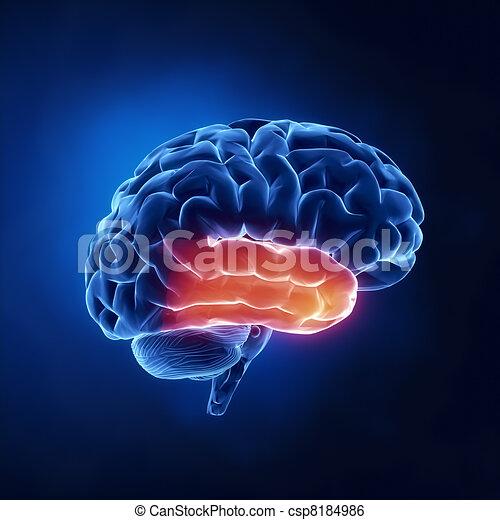 Temporal lobe - Human brain in x-ray view - csp8184986