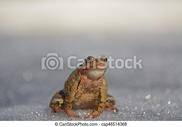 temporaria), brauner, gewöhnlicher frosch, (rana - csp46514368