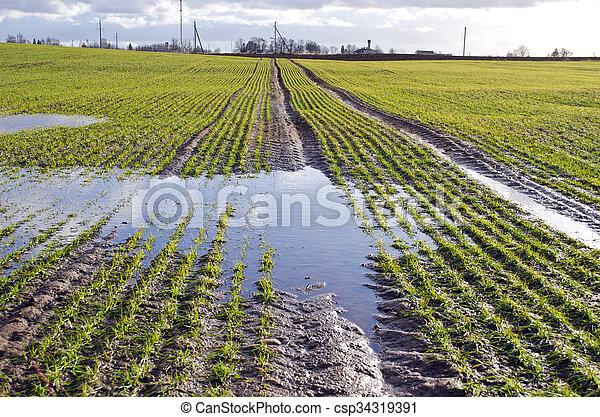 temps, tôt, jeune, champ, blé, printemps, flaque - csp34319391