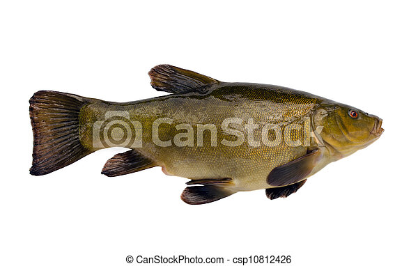 Tench fish after fishing isolated on white - csp10812426