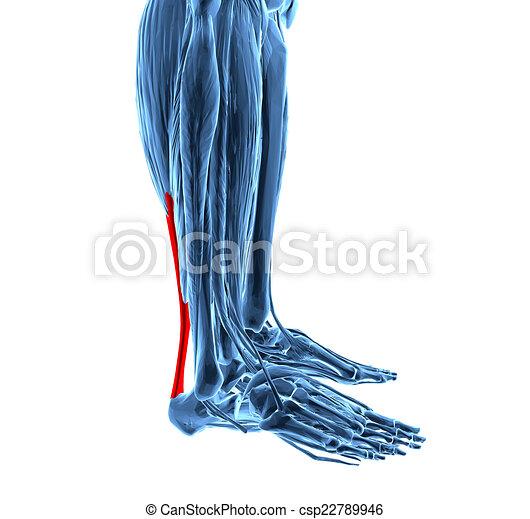 musculos de la pierna baja