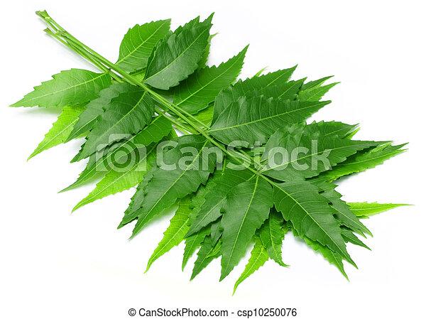 Tender medicinal neem leaves - csp10250076