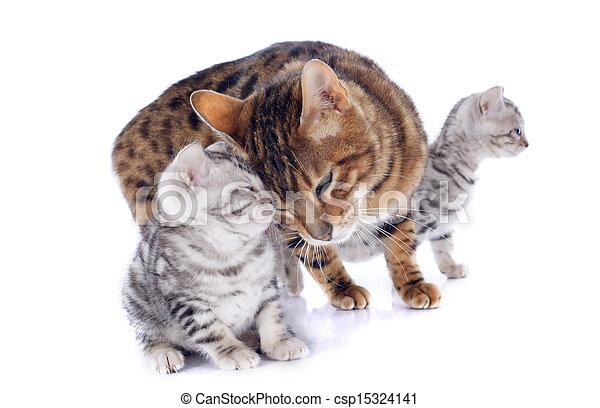 tenerezza, gatti, bengala - csp15324141