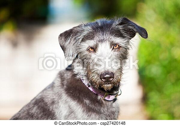 Terrier Dog in Sunlight - csp27420148