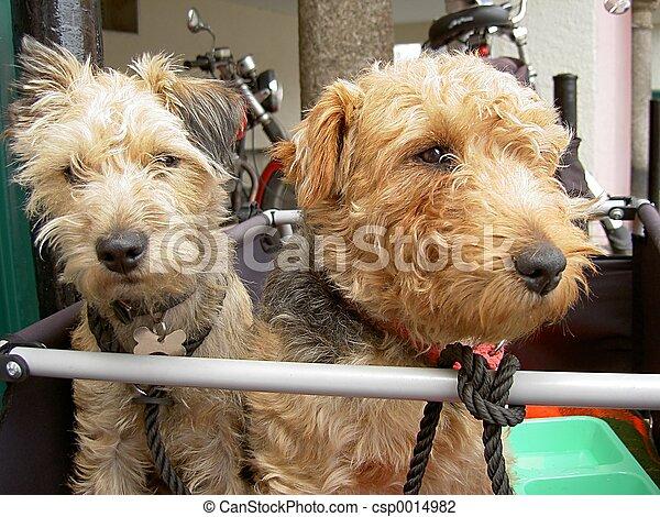 Terriers - csp0014982
