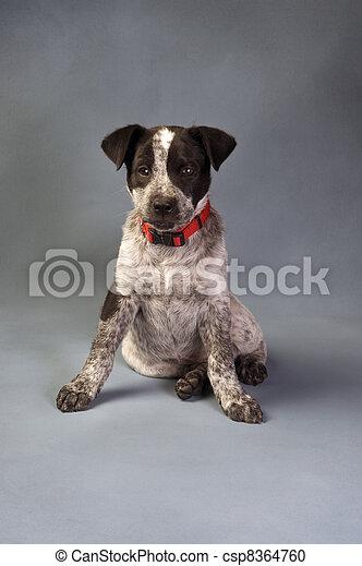 Texas Blue Heeler  - csp8364760