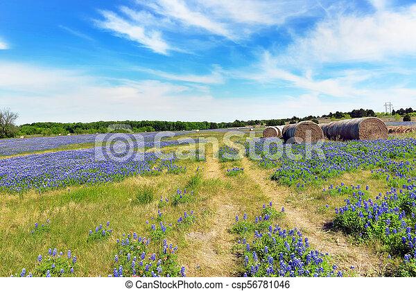 Texas Bluebonnet Trails Texas Bluebonnets In The Countyside Of