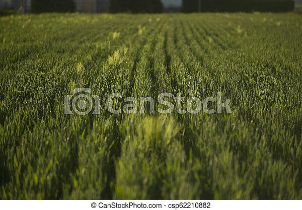 Texture of barley ears - csp62210882