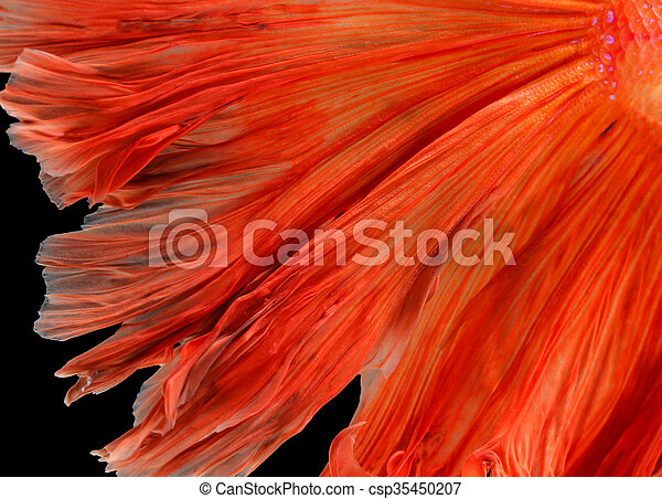 Texture of tail siamese fighting fish - csp35450207