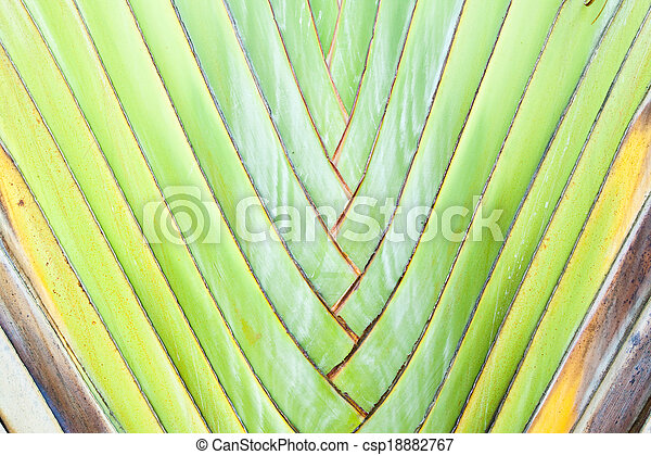 Texture of Traveller's tree or Banana Fan - csp18882767