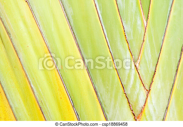 Texture of Traveller's tree or Banana Fan - csp18869458