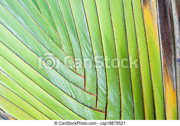 Texture of Traveller's tree or Banana Fan - csp18879521