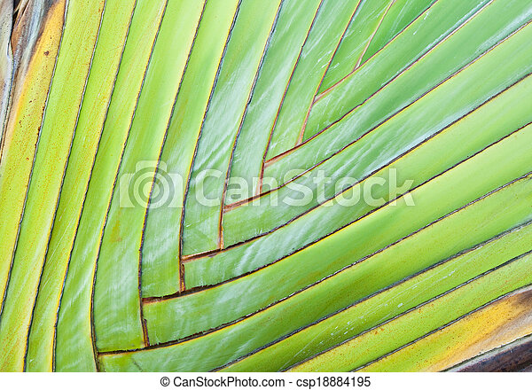 Texture of Traveller's tree or Banana Fan - csp18884195