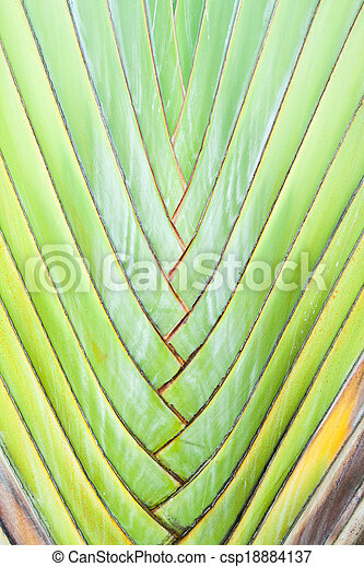 Texture of Traveller's tree or Banana Fan - csp18884137